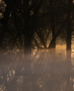 Germany, Brandenburg, Uckermark, Criewen, National Park Lower Oder Valley, old willow trees in the riparian forests near Criewen, morning mood with fog