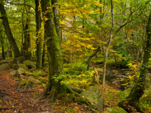 Europe, Sweden, Scania, Söderasen National Park, Sprickdal, ravine, forest, Skaran Stream with moss-covered stones