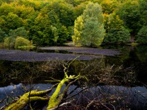 Europe, Sweden, Scania, Söderasen National Park, fallen beech trees on Lake Skäralid