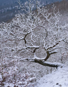 Europe, Germany, Hesse, Vöhl, Kellerwald-Edersee National Park, winter atmosphere at the Kahlen Hardt, winding oak tree above the Edersee, 1000 year old oak trees, Knorreichenstieg, jungle, steep slope, exposed to the south,