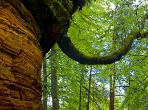 Deutschland, Rheinland-Pfalz, Naturpark Pfälzer Wald, Eppenbrunn, Altschlossfelsen aus Buntsandstein, Rotbuche wächst aus Sandsteinfels