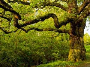 Europa, Deutschland, Hessen, Naturpark Lahn-Dill-Bergland, alte Eiche bei Ballersbach (Naturdenkmal)