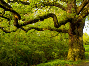 Europe, Germany, Hesse, Lahn-Dill-Bergland Nature Park, old oak near Ballersbach (natural monument)