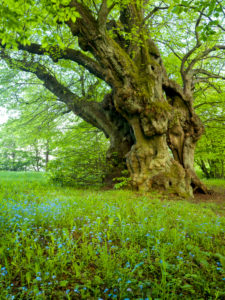Europe, Germany, Hesse, Lahn-Dill-Bergland Nature Park, the old linden tree of Bermoll (natural monument, 400 years old)