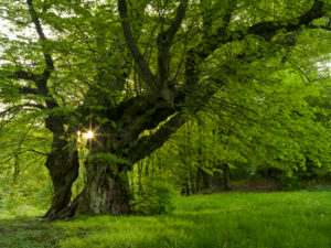 Europa, Deutschland, Hessen, Naturpark Lahn-Dill-Bergland, die alte Linde von Bermoll (Naturdenkmal, 400 Jahre alt)