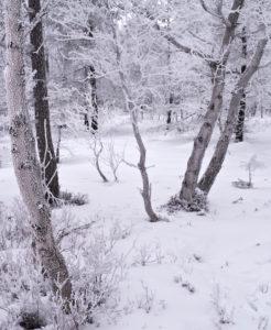Europa, Deutschland, Bayern, UNESCO-Biosphärenreservat Rhön, Naturpark Bayrische Rhön, Naturschutzgebiet Schwarzes Moor, Karpatenbirken in Nebel und Raureif