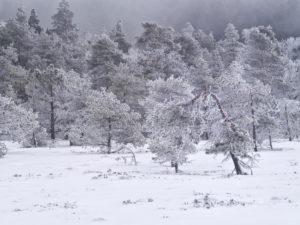 Europa, Deutschland, Bayern, UNESCO-Biosphärenreservat Rhön, Naturpark Bayrische Rhön, Naturschutzgebiet Schwarzes Moor, Kiefern in Raureif und Nebel