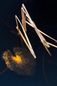 Europa, Deutschland, Hessen, Marburger Land, herbstfarbenes Seerosenblatt auf dunklem Wasser, Seggenstängel