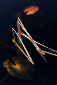 Europa, Deutschland, Hessen, Marburger Land, herbstfarbene Seerosenblätter auf dunklem Wasser, Seggengräser