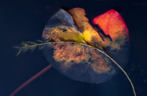 Europe, Germany, Hesse, Marburger Land, autumn colored water lily leaf with water spring on dark water