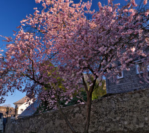 Europe, Germany, Hesse, Lahn-Dill-Kreis, Lahn-Dill-Bergland, Wetzlar, old city wall with blooming almond tree at the Avignon facility