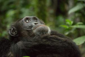 Old chimpanzee in the jungle