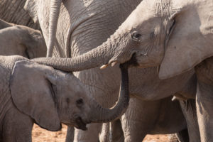 Two young elephants touching each other's trunk