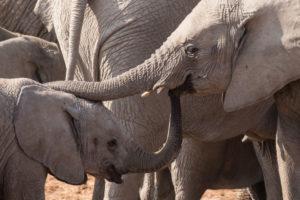 Zwei junge Elefanten, die sich mit den Rüssel berühren