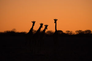 4 Giraffen nach Sonnenuntergang als Silhouette