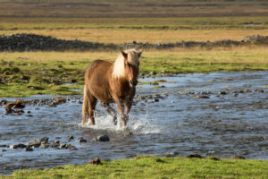 Iceland, brown Icelandic horse running through the river