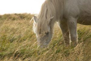 Icelandic horse, white, grazing, back light,