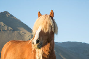 Iceland, brown Icelandic horse, in front of mountain, blond, ears up
