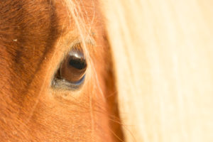 Iceland, eye of an Icelandic horse, close-up
