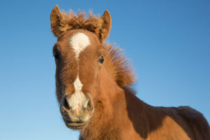 Iceland, Icelandic horse foal, brown, cheeky, curious, against blue sky