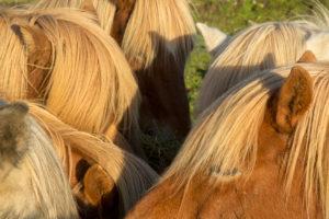 Iceland, six brown Icelandic horses huddling