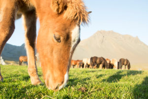 Iceland, brown Icelandic horse foal, close-up, with herd and mountains in the background