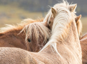 Iceland, two wet Icelandic horses, one horse looking into the camera