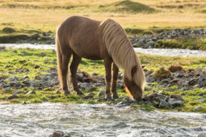 Iceland, brown Icelandic horse standing by the river