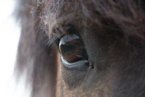 Iceland, Icelandic horse, big horse eye, dark, unfathomable, long eyelashes