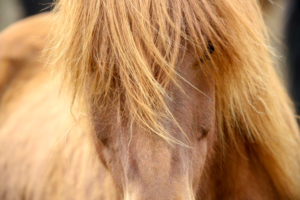 Iceland, brown Icelandic horse, close-up from the front