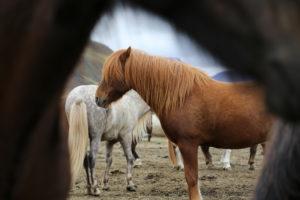 Iceland, Brown Icelandic Horse,
