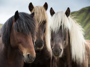 Iceland, three Icelandic horses in front of mountain, white, brown and black mane, curious,