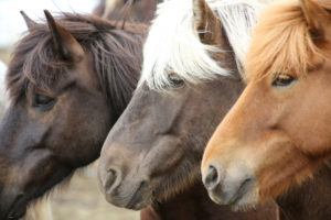 Iceland, three Icelandic horses in a row, different colors