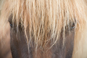 Iceland, brown Icelandic horse, close-up from the front, bright mane