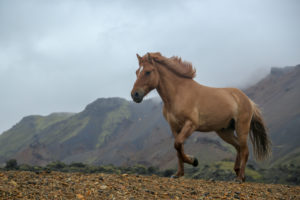 Iceland, brown Icelandic horse, in front of mountain, running,