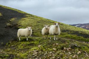 Island, drei Schafe schauen neugierig in die Kamera, Mutter mit zwei großen Lämmern, Lavasand und Moos