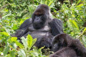 Berggorilla, Männchen und Jungtier, Gorilla beringei beringei, Pablo-Gruppe, Ruanda, Arika