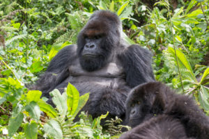 Mountain gorilla, male and young animal, gorilla beringei beringei, Pablo's team, Rwanda, Africa