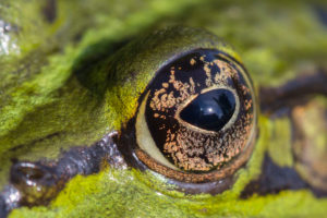 Eye of a pond frog, swimming in the water, close up, Pelophylax esculentus