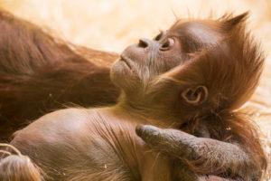 Orang Utan Baby im Arm der Mutter, close-up