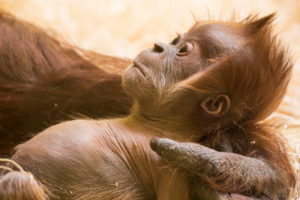 Orang Utan baby in the arm of the mother, close up