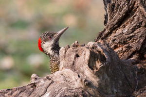 Cardinal woodpecker on tree, Dendropicos fuscescens, close up, Namibia