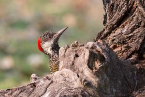 Kardinals-Specht auf Baum, Dendropicos fuscescens, close-up, Namibia