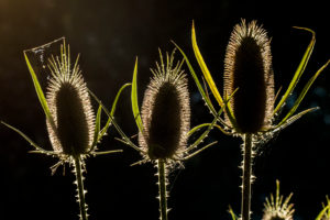Foetus state of the wild teasel in the back light, close up