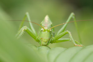 Grasshopper / green hay horse, Tettigonia viridissima, sitting on leaves, close up