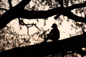 Baboon sitting on branch, silhouette in the evening light, Namibia