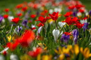 Blühende Krokusse und Tulpen