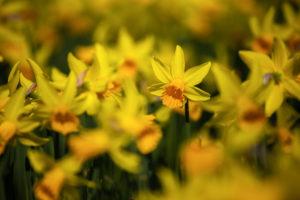 Daffodils (daffodils)