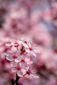 Nahaufnahme von Kirschblüten