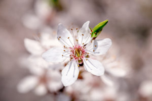 Close up of a cherry blossom